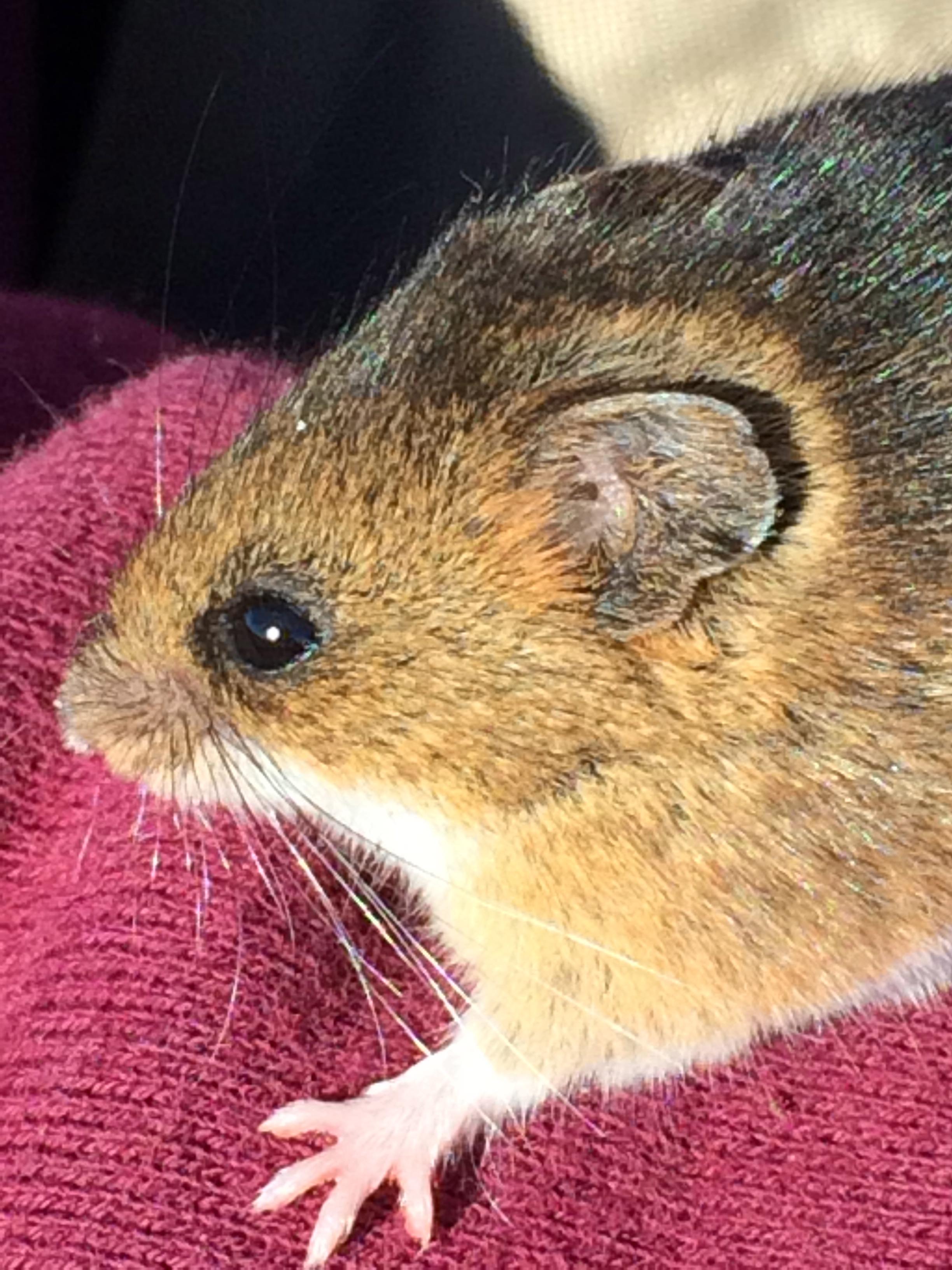 Salt Marsh Harvest Mouse
